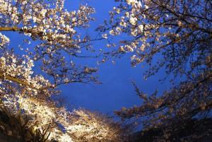 27-王子動物園の夜桜_re028