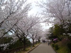 須磨浦公園の桜2